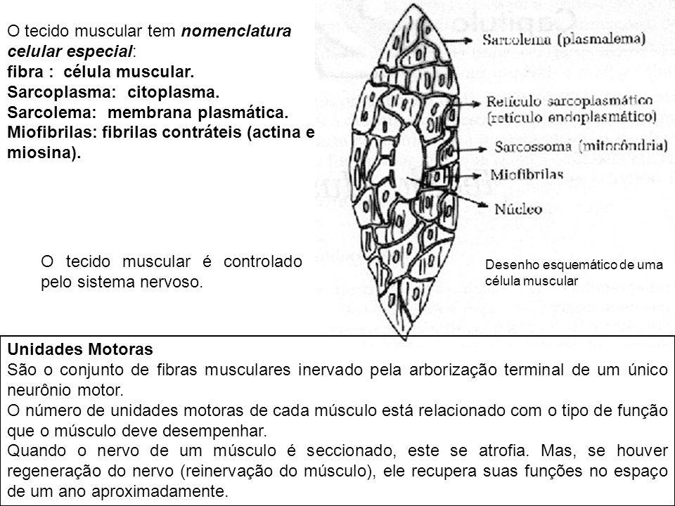 O tecido muscular tem nomenclatura celular especial: