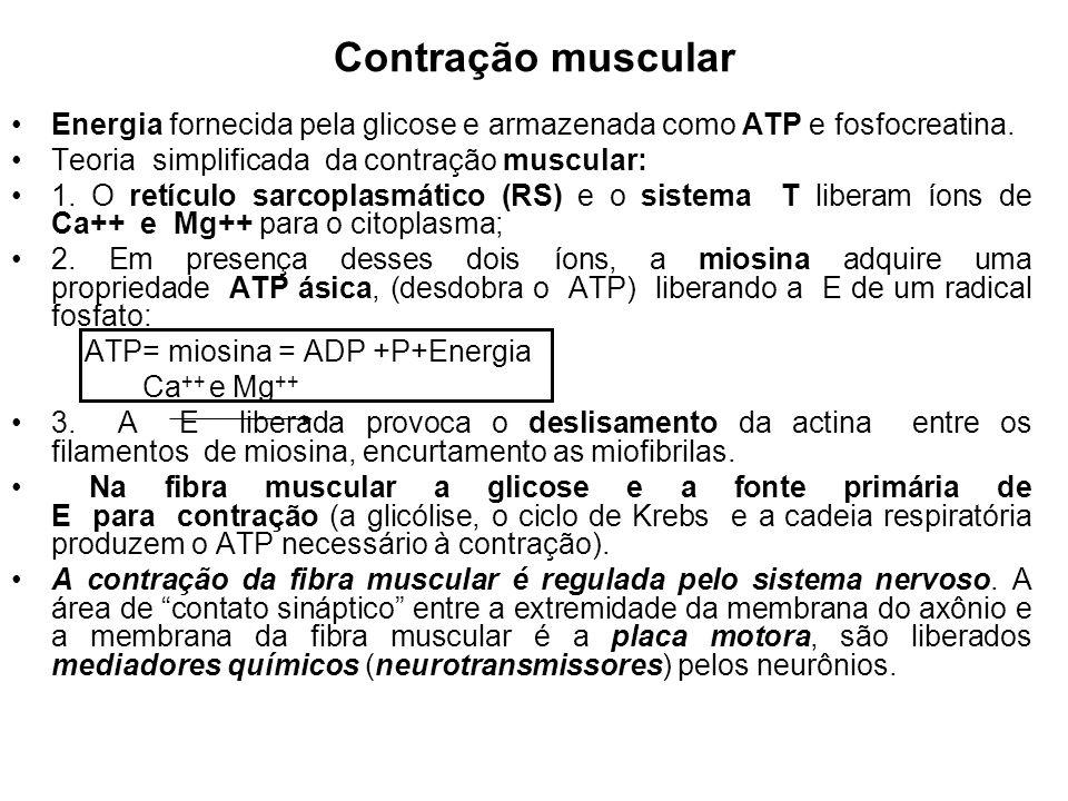 Contração muscular Energia fornecida pela glicose e armazenada como ATP e fosfocreatina. Teoria simplificada da contração muscular:
