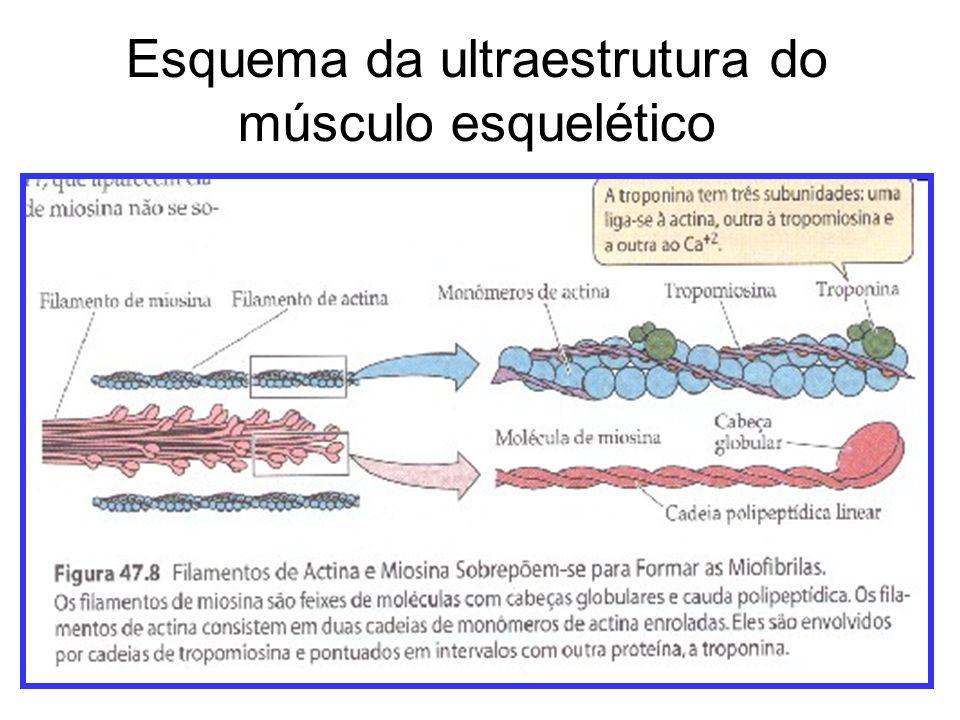 Esquema da ultraestrutura do músculo esquelético