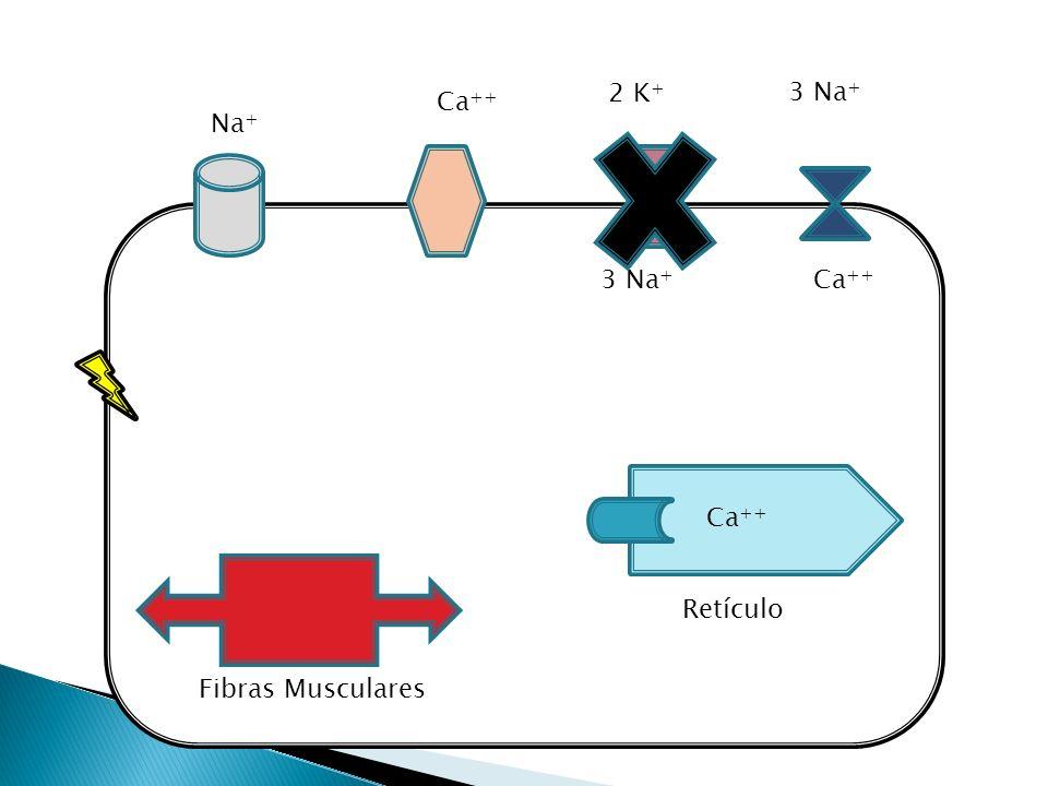 2 K+ 3 Na+ Ca++ Na+ 3 Na+ Ca++ Ca++ Retículo Fibras Musculares