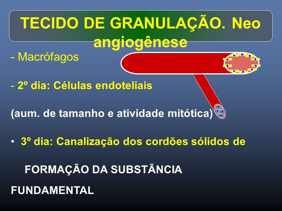 TECIDO DE GRANULAÇÃO. Neo angiogênese