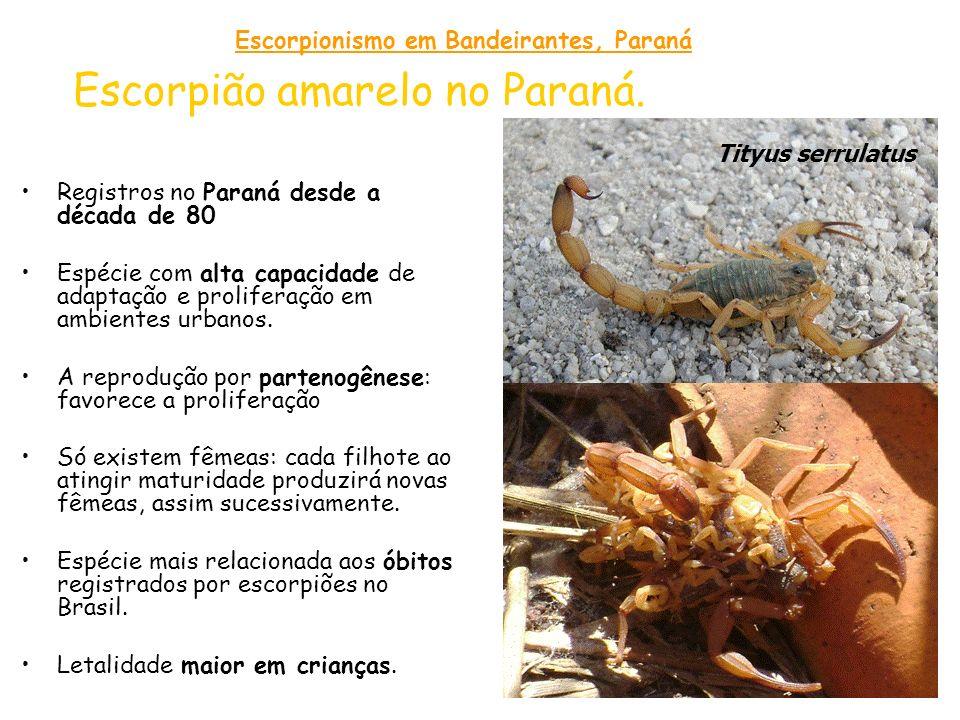 Escorpião amarelo no Paraná.