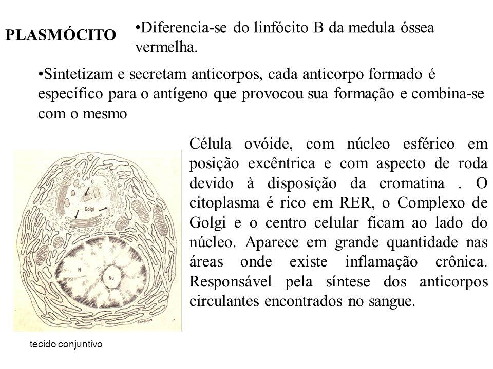 Diferencia-se do linfócito B da medula óssea vermelha. PLASMÓCITO