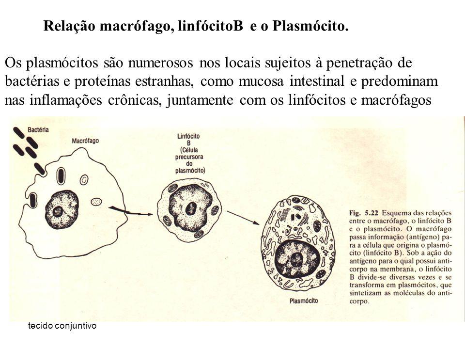Relação macrófago, linfócitoB e o Plasmócito.