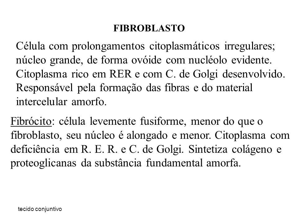 FIBROBLASTO