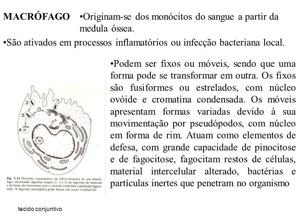 Originam-se dos monócitos do sangue a partir da medula óssea.