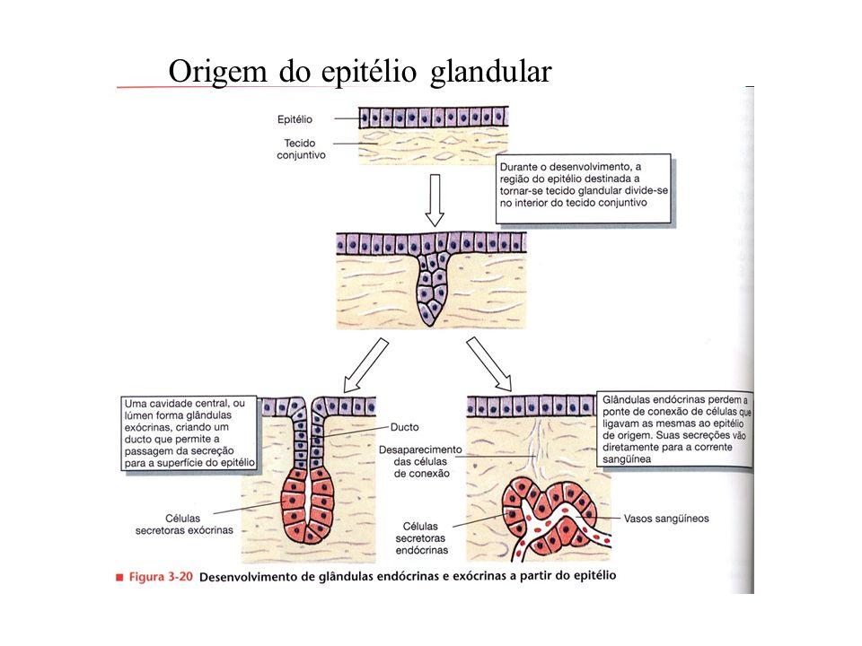 Origem do epitélio glandular