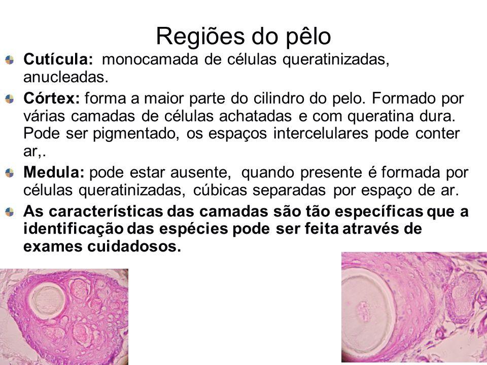 Regiões do pêloCutícula: monocamada de células queratinizadas, anucleadas.