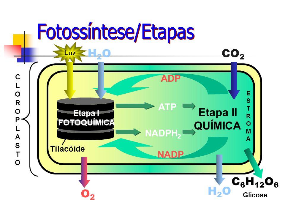 Fotossíntese/Etapas H2O CO2 H2O C6H12O6 O2 Etapa II QUÍMICA ADP ATP