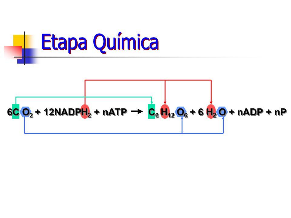 6C O2 + 12NADPH2 + nATP C6 H12 O6 + 6 H2 O + nADP + nP