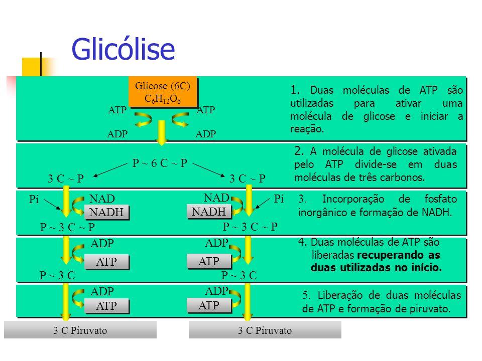 Glicólise Glicose (6C) C6H12O6. 1. Duas moléculas de ATP são utilizadas para ativar uma molécula de glicose e iniciar a reação.