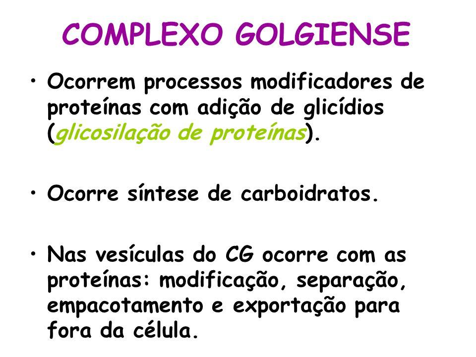 COMPLEXO GOLGIENSEOcorrem processos modificadores de proteínas com adição de glicídios (glicosilação de proteínas).