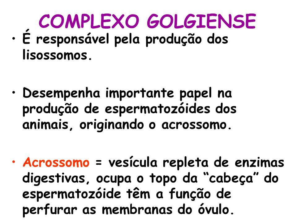 COMPLEXO GOLGIENSE É responsável pela produção dos lisossomos.