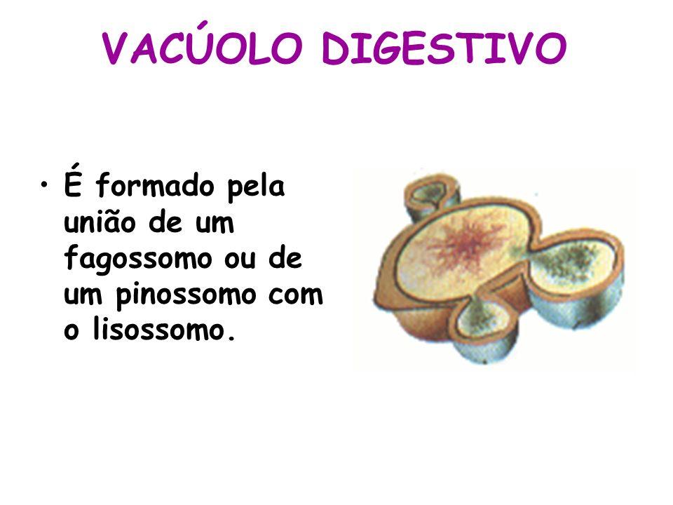 VACÚOLO DIGESTIVO É formado pela união de um fagossomo ou de um pinossomo com o lisossomo.
