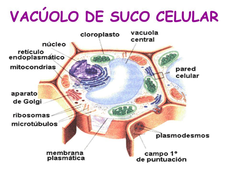 VACÚOLO DE SUCO CELULAR