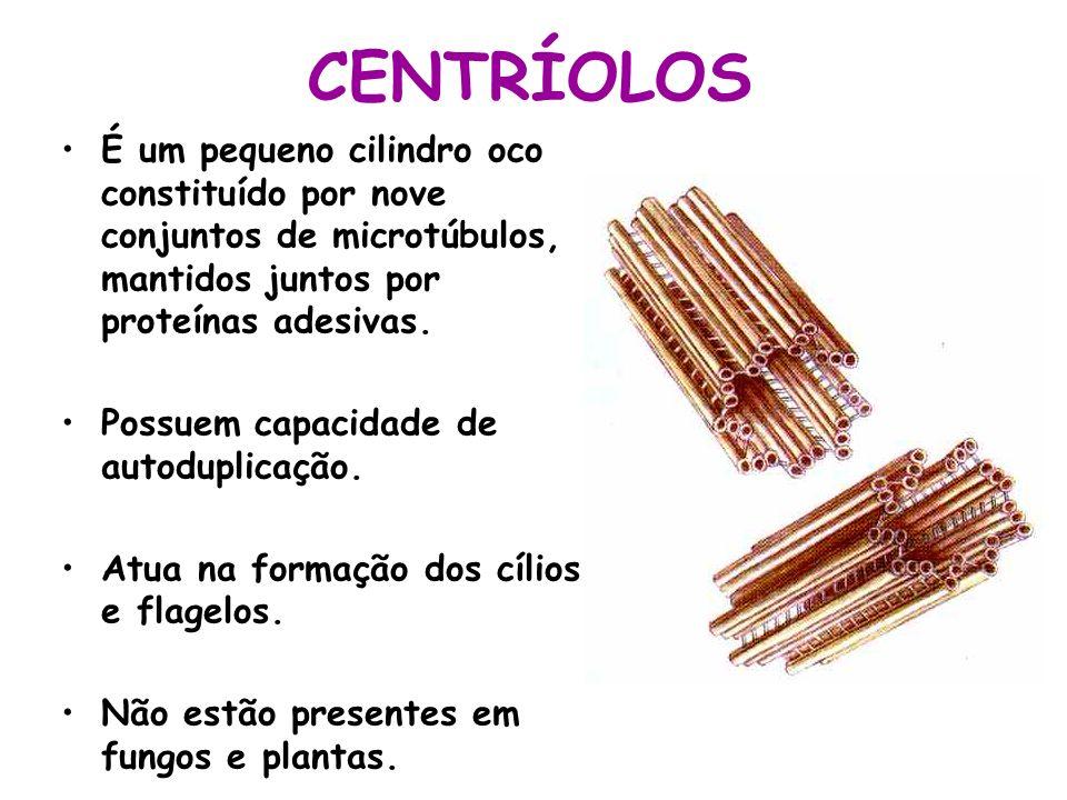 CENTRÍOLOS É um pequeno cilindro oco constituído por nove conjuntos de microtúbulos, mantidos juntos por proteínas adesivas.