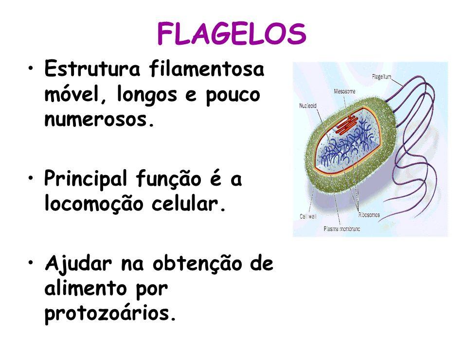 FLAGELOS Estrutura filamentosa móvel, longos e pouco numerosos.