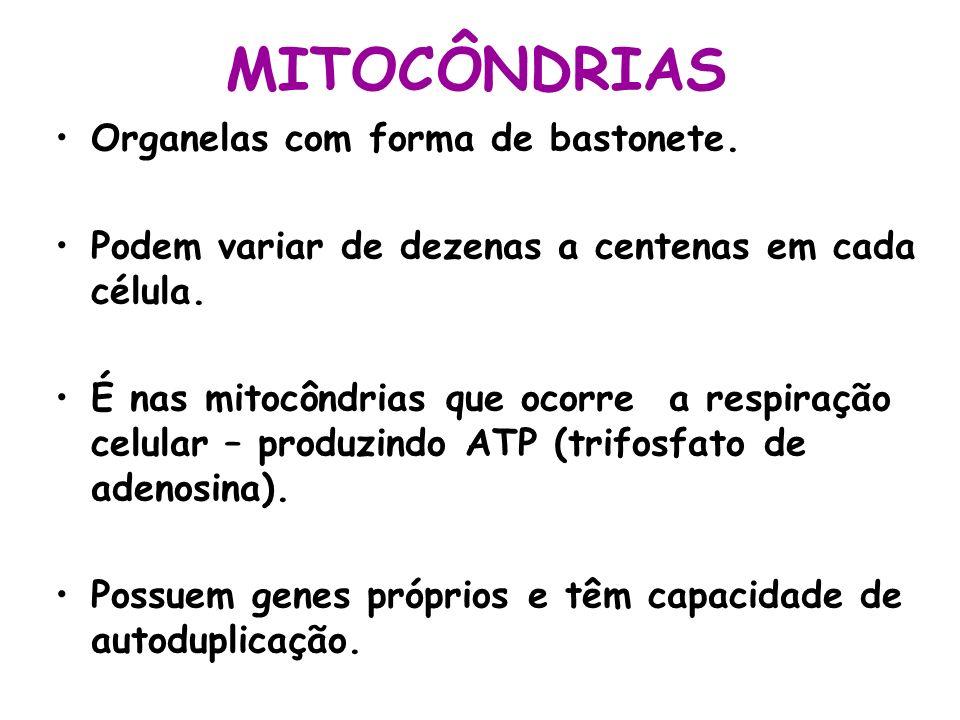 MITOCÔNDRIAS Organelas com forma de bastonete.