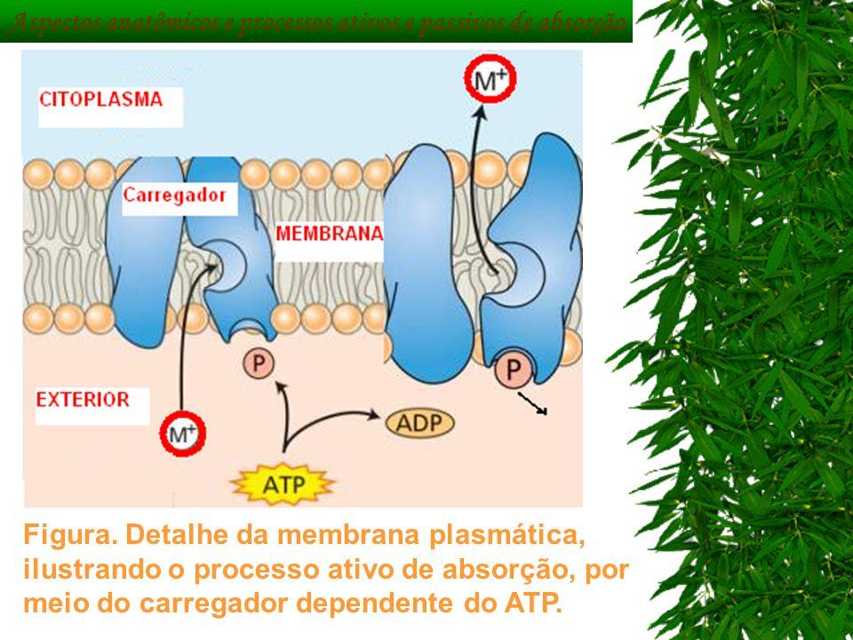 Aspectos anatômicos e processos ativos e passivos de absorção
