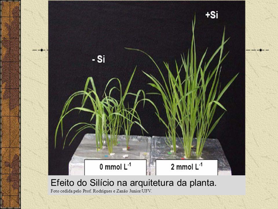 Efeito do Silício na arquitetura da planta.