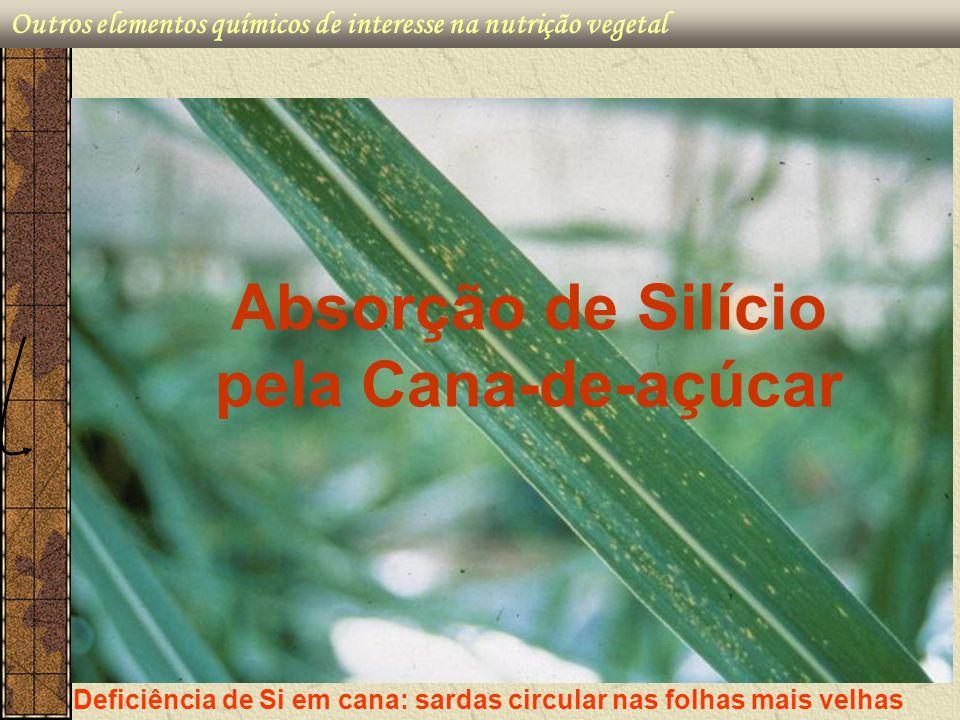 Absorção de Silício pela Cana-de-açúcar