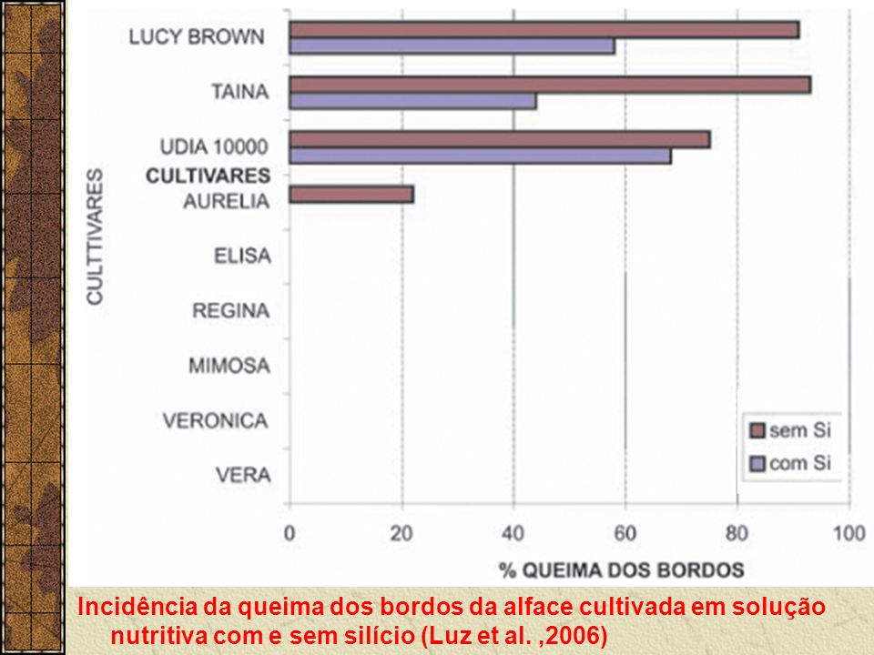 Incidência da queima dos bordos da alface cultivada em solução nutritiva com e sem silício (Luz et al.
