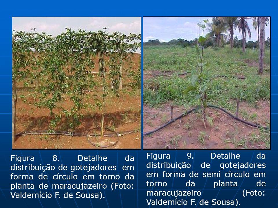 Figura 9. Detalhe da distribuição de gotejadores em forma de semi círculo em torno da planta de maracujazeiro (Foto: Valdemício F. de Sousa).