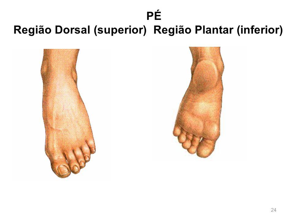PÉ Região Dorsal (superior) Região Plantar (inferior)