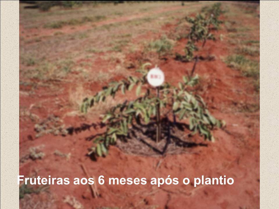 Fruteiras aos 6 meses após o plantio