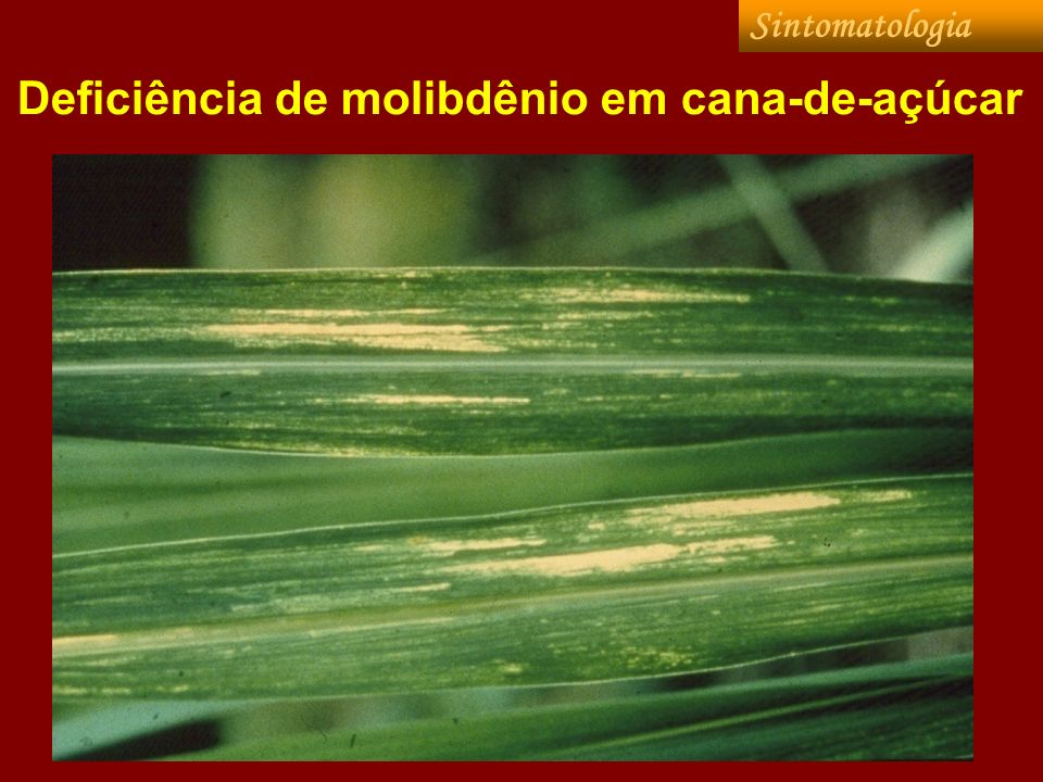 Deficiência de molibdênio em cana-de-açúcar