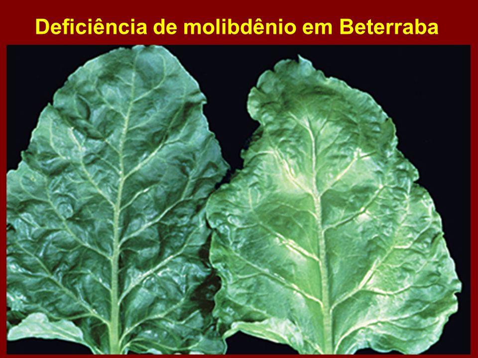Deficiência de molibdênio em Beterraba