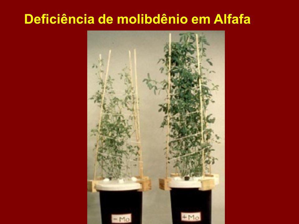 Deficiência de molibdênio em Alfafa