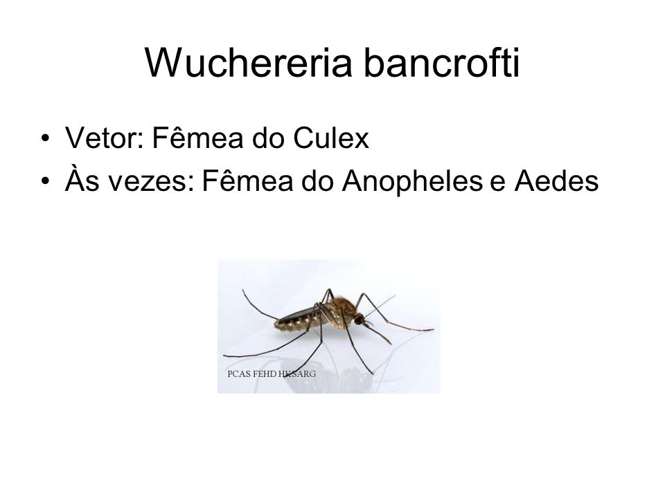Wuchereria bancrofti Vetor: Fêmea do Culex