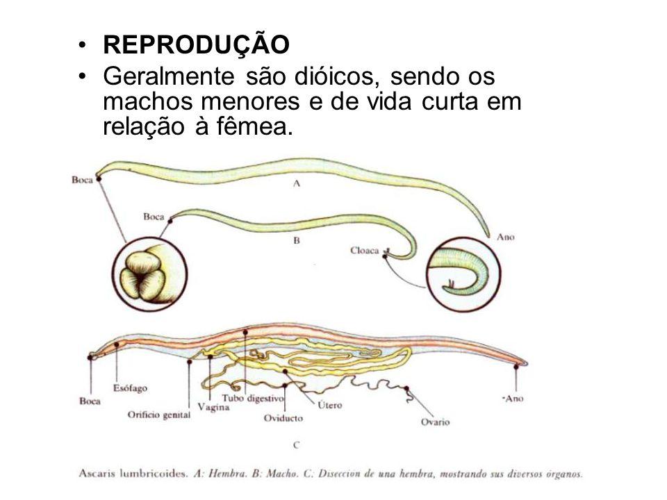 REPRODUÇÃO Geralmente são dióicos, sendo os machos menores e de vida curta em relação à fêmea.