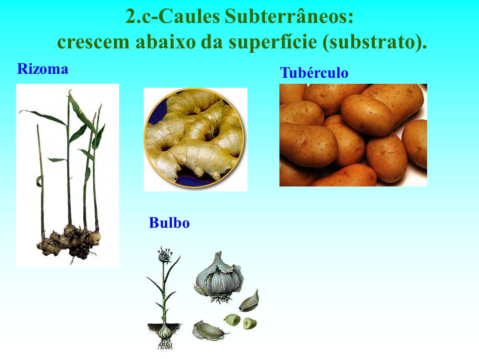 2.c-Caules Subterrâneos: