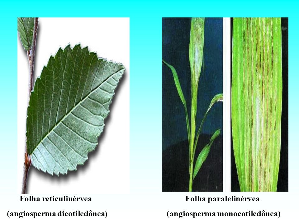 (angiosperma dicotiledônea) (angiosperma monocotiledônea)