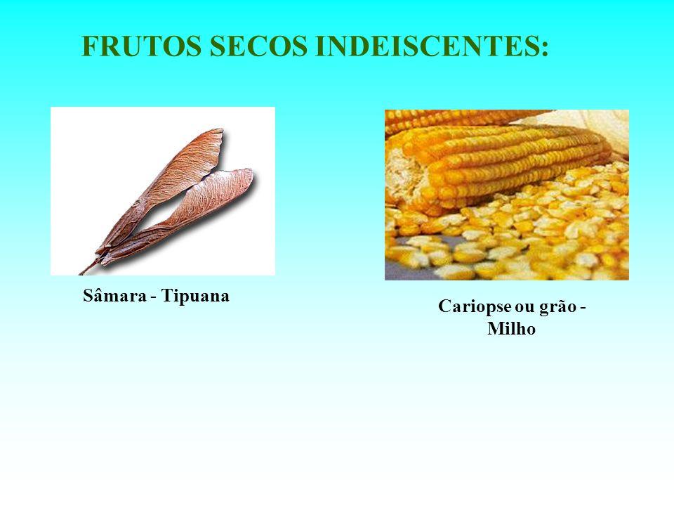FRUTOS SECOS INDEISCENTES: Cariopse ou grão - Milho
