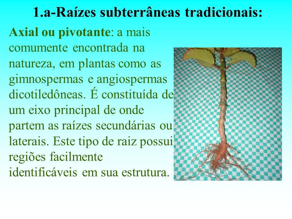 1.a-Raízes subterrâneas tradicionais: