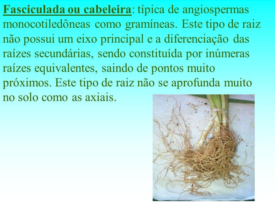 Fasciculada ou cabeleira: típica de angiospermas monocotiledôneas como gramíneas.