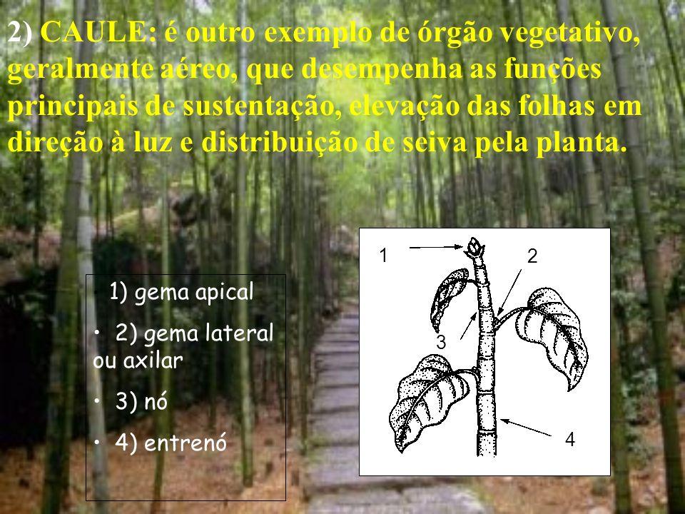 2) CAULE: é outro exemplo de órgão vegetativo, geralmente aéreo, que desempenha as funções principais de sustentação, elevação das folhas em direção à luz e distribuição de seiva pela planta.