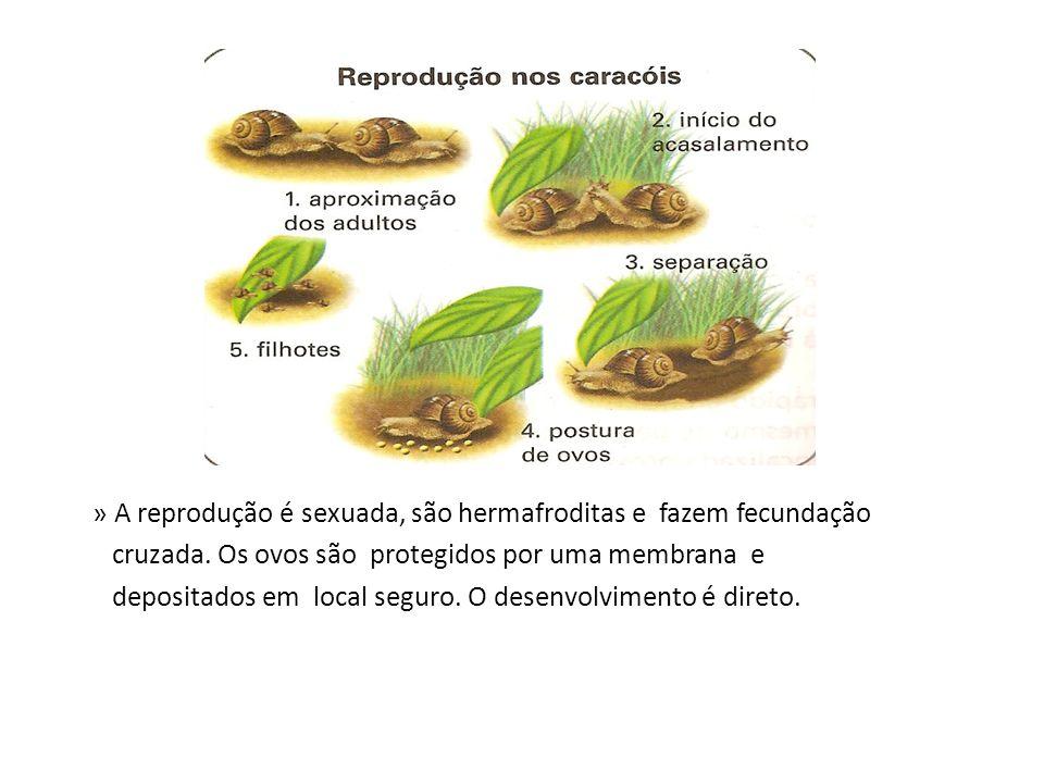 » A reprodução é sexuada, são hermafroditas e fazem fecundação