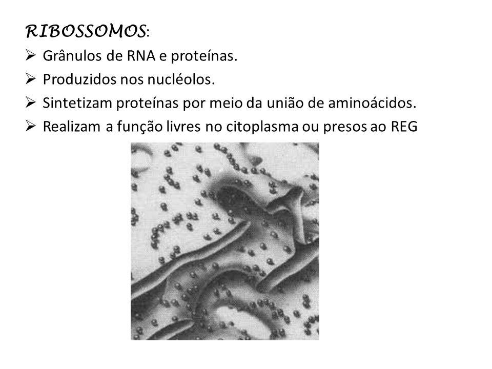 RIBOSSOMOS: Grânulos de RNA e proteínas. Produzidos nos nucléolos. Sintetizam proteínas por meio da união de aminoácidos.