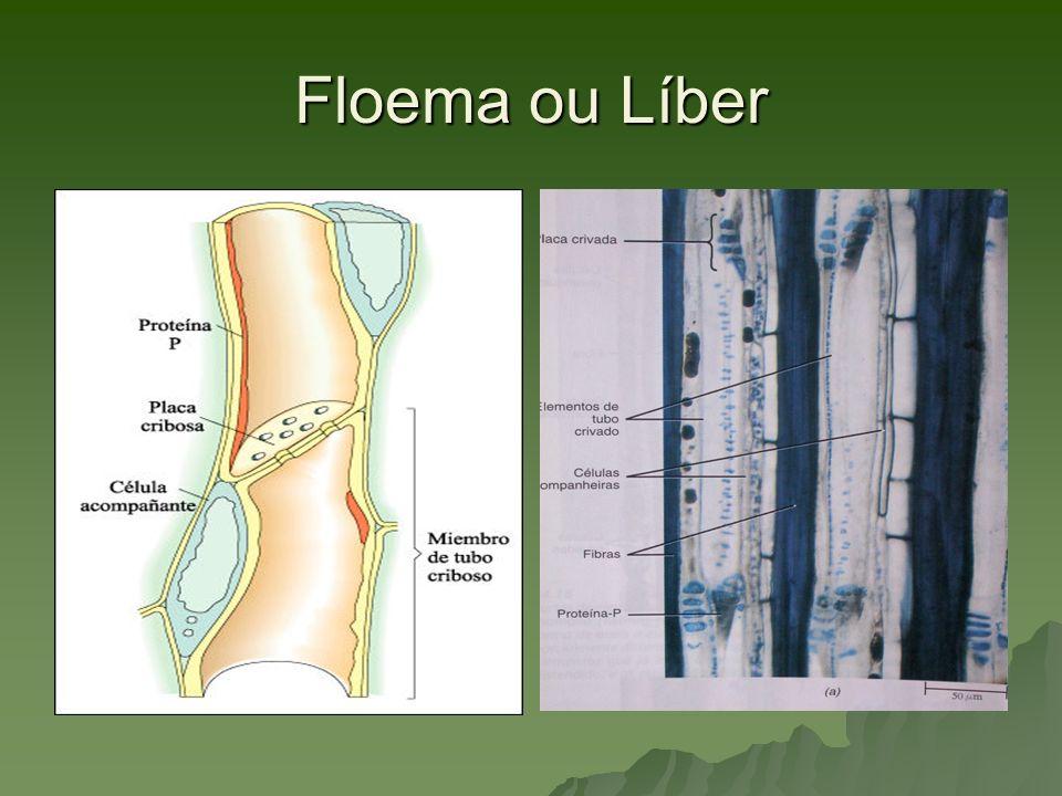 Floema ou Líber