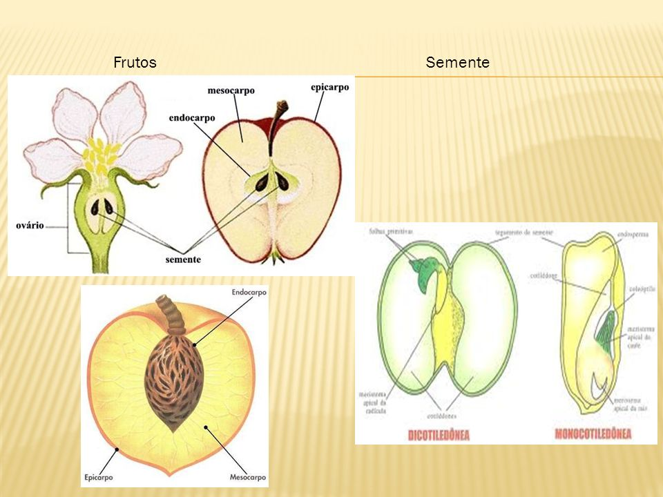 Frutos Semente