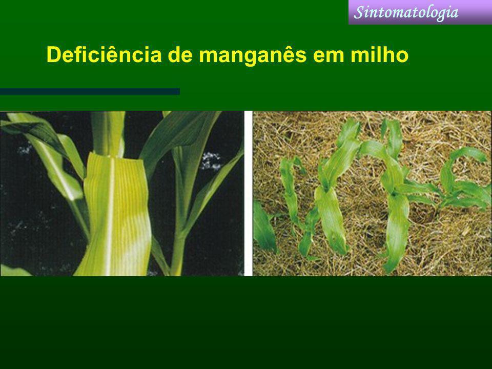 Deficiência de manganês em milho