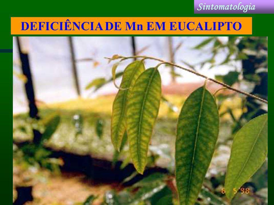 DEFICIÊNCIA DE Mn EM EUCALIPTO