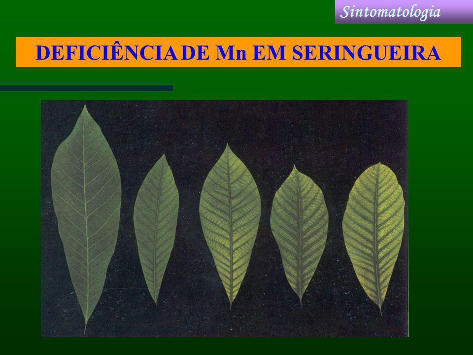 DEFICIÊNCIA DE Mn EM SERINGUEIRA