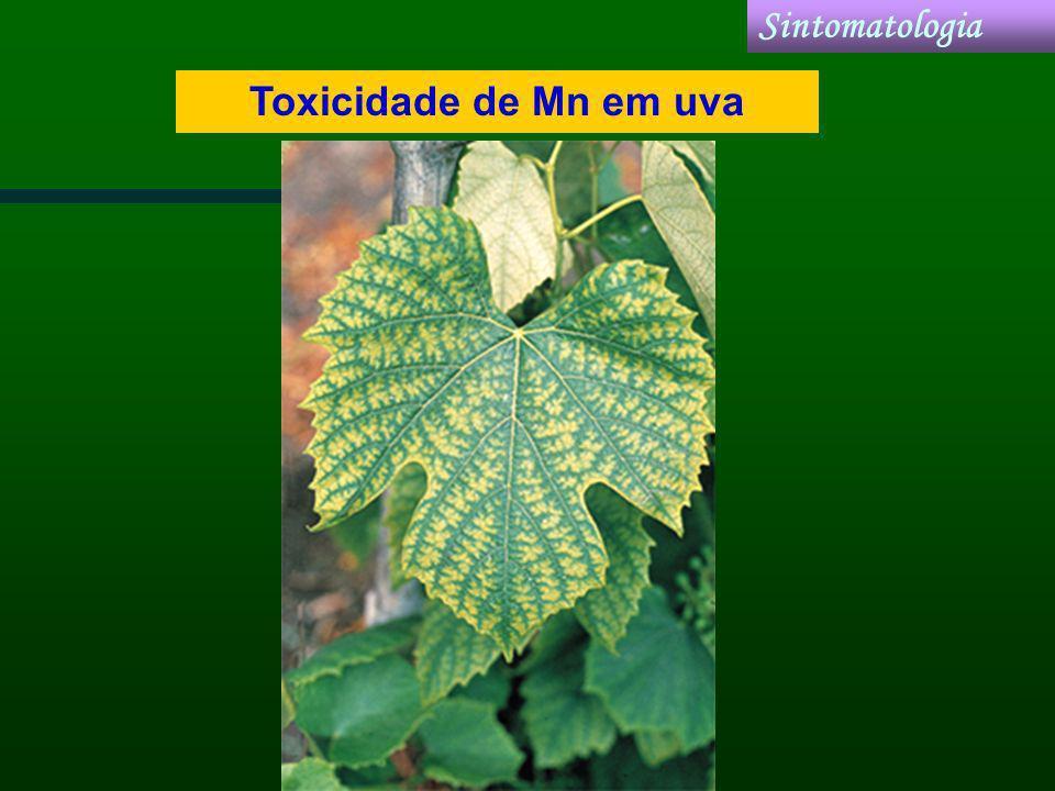 Sintomatologia Toxicidade de Mn em uva
