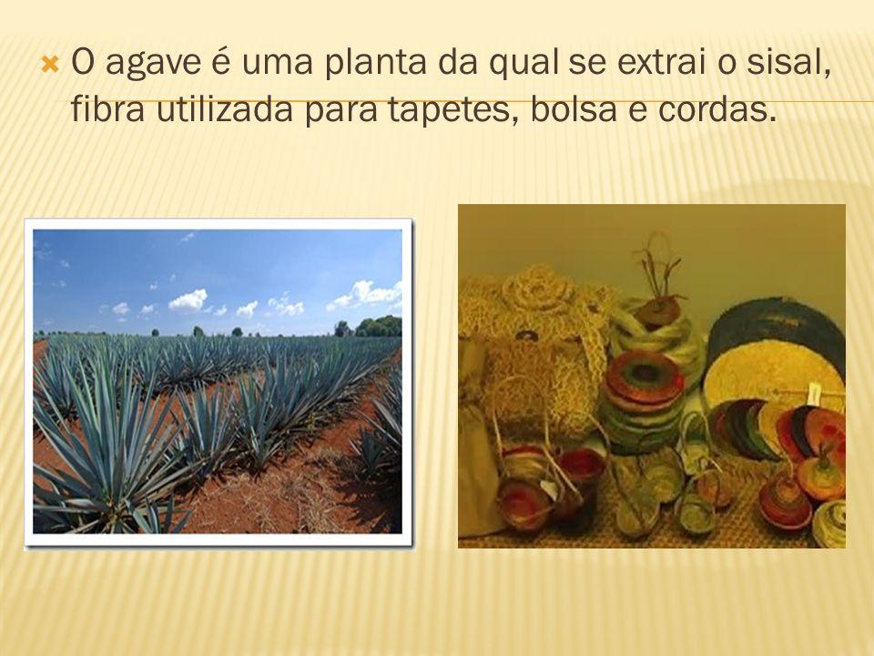 O agave é uma planta da qual se extrai o sisal, fibra utilizada para tapetes, bolsa e cordas.