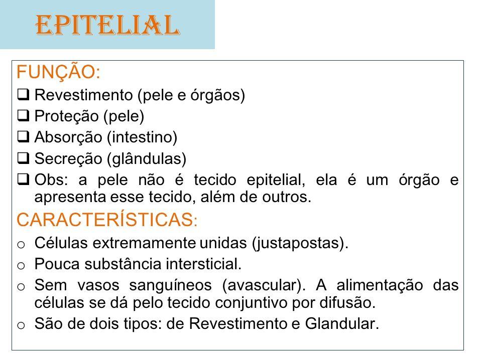 EPITELIAL FUNÇÃO: CARACTERÍSTICAS: Revestimento (pele e órgãos)